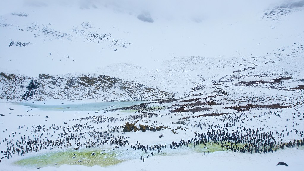 Another View of Thousands of King Penguins