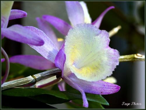 orchid flower macro bokeh soe naturesfinest itail fantasticflower mywinners abigfave platinumphoto ultimateshot rubyphotographer vosplusbellesphotos