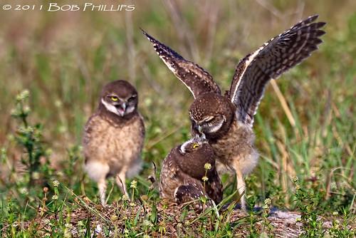 birds florida bokeh capecoral burrowingowls