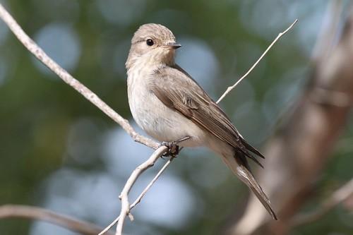 Spotted Flycatcher / Muscicapa striata? | by Jerry Gunner