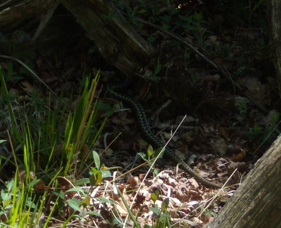 Retreating adder, Bagshot Common This snake didn't want it's picture took. It had obviously adder nuff. Same photo, more snake. Milford to Haslemere