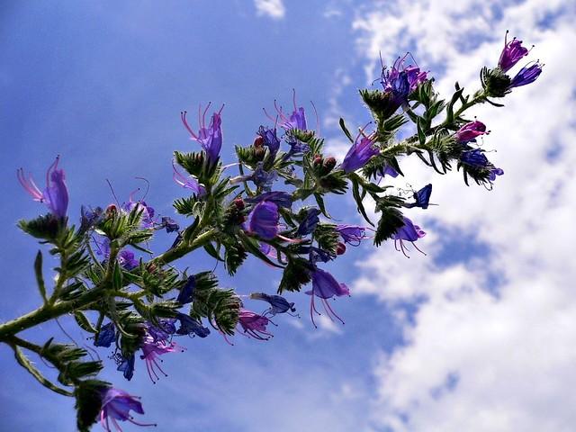 Echium vulgare (Erba viperina)