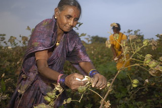 BE20081202-015 Shayampet, cotton picking | by WORLD WIDE FUND