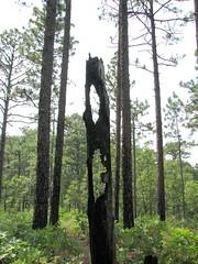Trees Weymouth Woods NC SP 0181