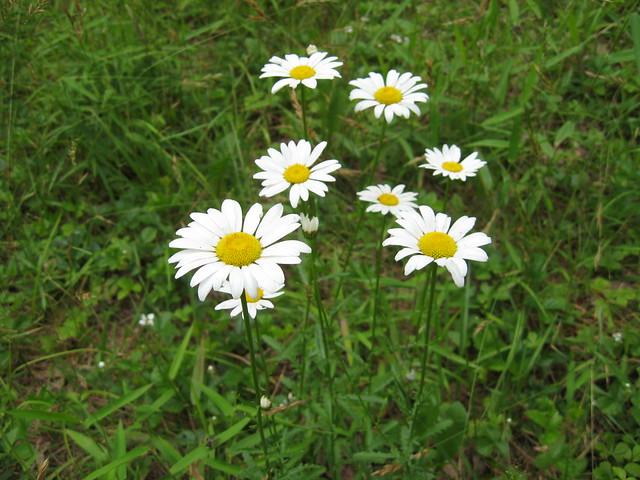 Wild Daisies :)