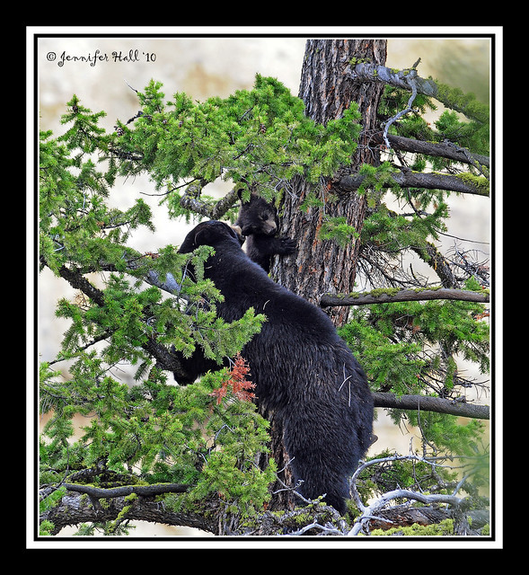 Mama Black Bear trying to get her cub out of the tree, Yellowstone - 5126bfsg