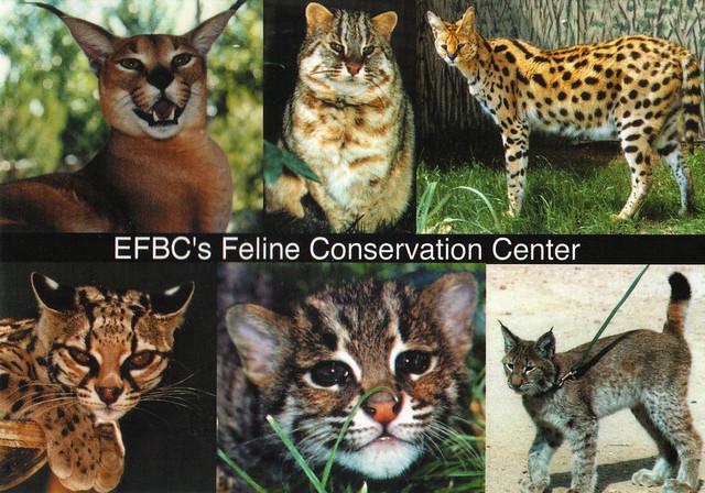 EFBC Feline Conservation Center Ad Postcard