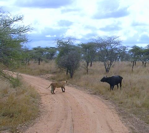 WITHIN  TEN MINUTES  AFTER SEEING THE LION WITH THE BROKEN PAW,  WE RAN INTO A STANDOFF OF ANOTHER FEMALE LION IN A  PUSH- PULL CONFLICT WITH A CAPE BUFFALO. I DIDN'T SUPECT A  KILL OF EITHER ONE OF THEM.