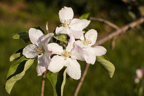 apple flickr northcarolina grannysmith appleblossom happyeaster waxhawnc ghholt appleblossomgrannysmithwaxhaw ncnorthcarolinaghholtsunrise