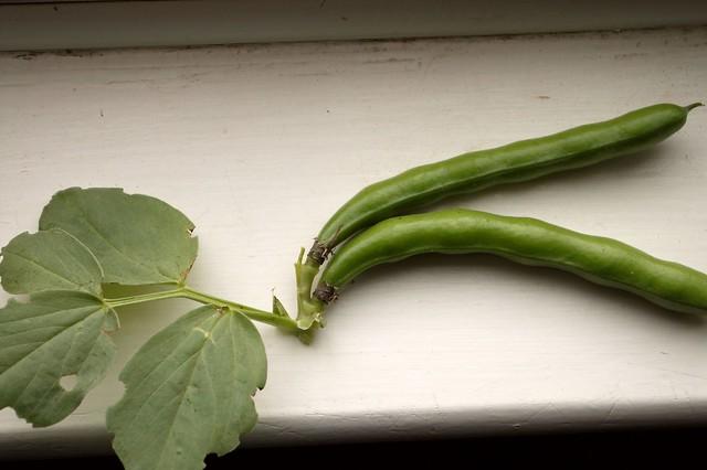 imgp9078 - Broad Beans
