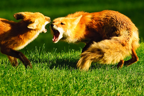grass fight nikon colorado fortcollins fox foxes d90 fcmdscurbanwildlifechallenge