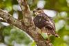 Gavilán de la Hispaniola / Ridgway's Hawk by Hector Vilorio