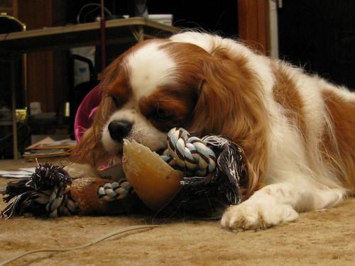 dog puppy fur paw rope charlie bone treat hoof cavalierkingcharlesspaniel