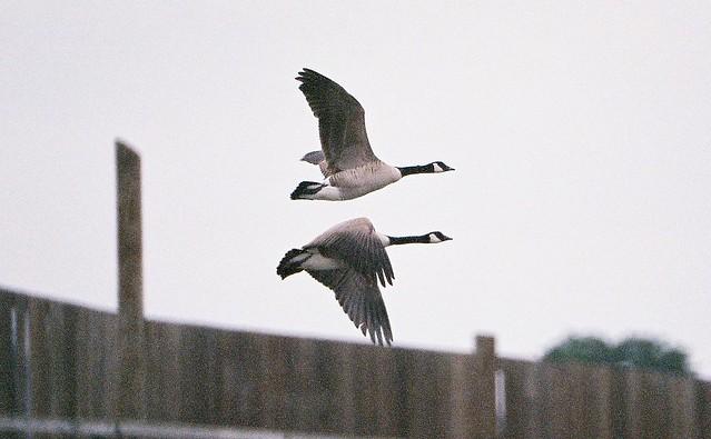 canada goose AHM 2