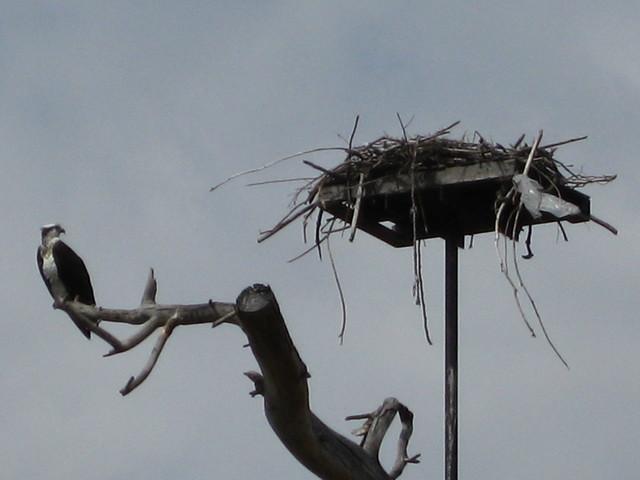 Okanagan Osprey