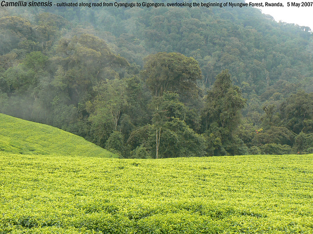 Camellia sinensis (Tea, Thee) - along road from Cyangugu to Gigongoro, overlooking the beginning of Nyungwe Forest, Rwanda, 5 May 2007 Henk