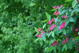 Lonicera blossoms | by Artep ^_^