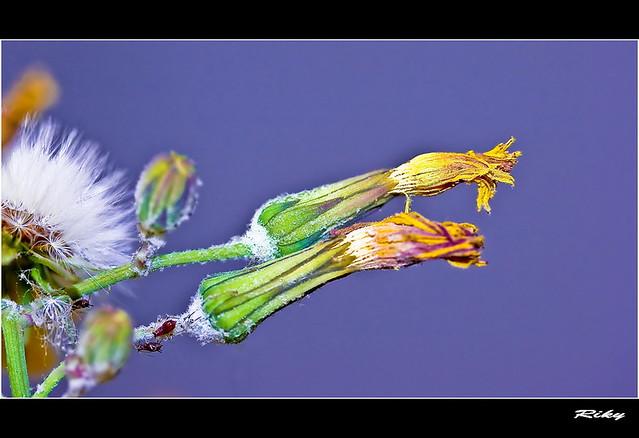 Pulgon - Plant Louse