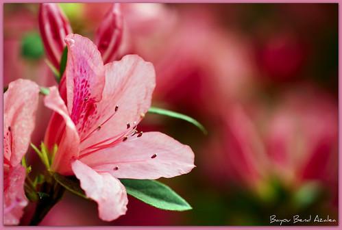 texas houston azelea rhododendron catchycolorspink bayoubend yearofholidays houstonazaleatrail