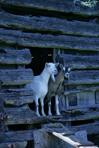 A pair of Goats   by Ivy Dawned