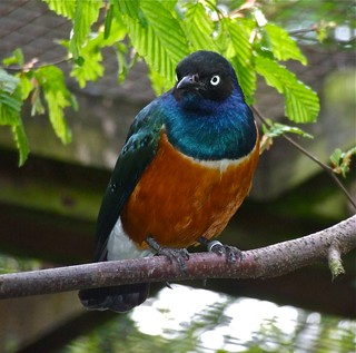 Superb Starling | by P. Stubbs photo