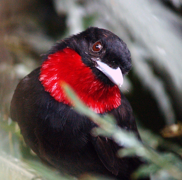 Purple-Throated Fruitcrow - Querula Purpurata