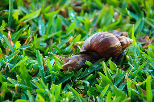 Sabre-Toothed Snail and the Dewey Blades of Kapalua | by dvanvliet