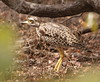 Spotted Thick-knee  / Burhinus capensis by Muchaxo