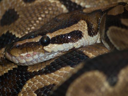 Royal Python   by wwarby