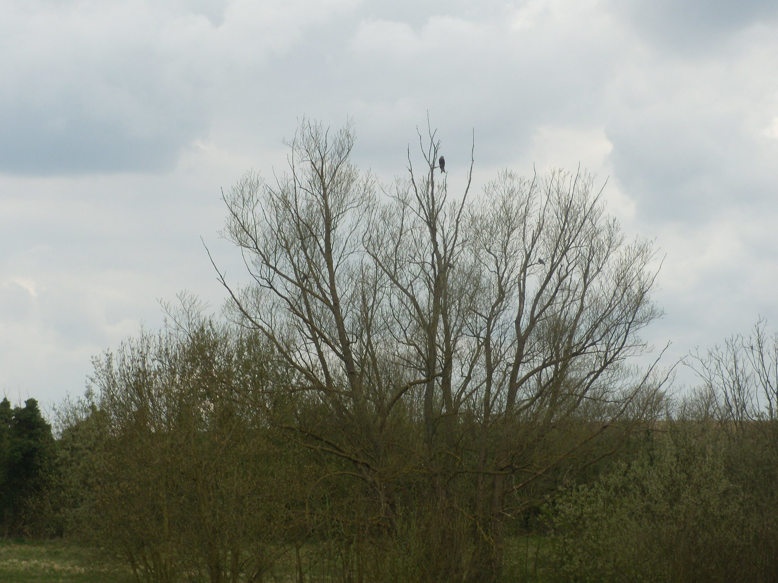Red Kite in a tree Marlow Circular
