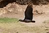 Wattled Ibis (Bostrychia carunculata) by piazzi1969