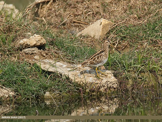 Common Snipe (Gallinago gallinago) | by gilgit2