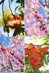 peach | by van_pham
