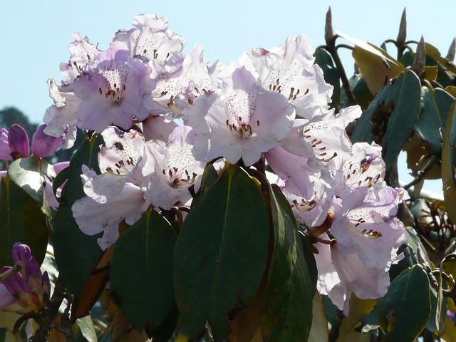 White/pink Rhododendrons