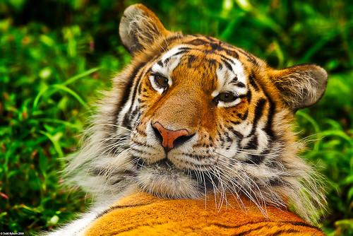 nature animal cat zoo big stripes wildlife tiger amurtiger peoriail peoriazoo