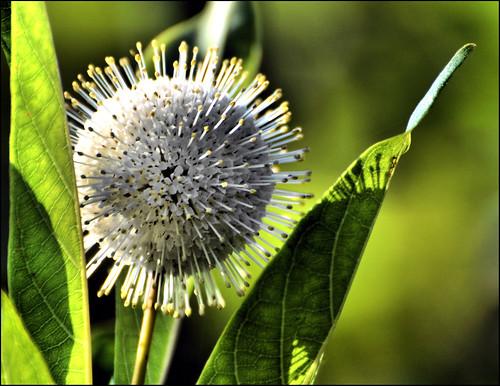 florida panamacitybeach buttonbush standrewsstatepark gatorlake floridastateparks nikond3100 nikkor70300afsvrlens