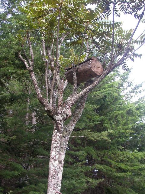 Log hive in a Polyscias fulva tree