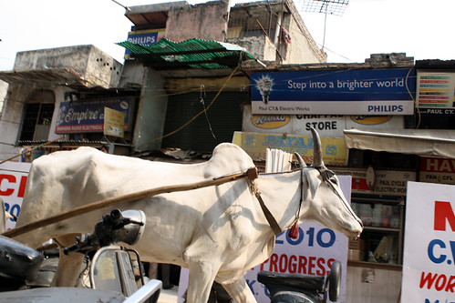 [India] Cow in New Delhi ニューデリーの町並み | by kimama_labo
