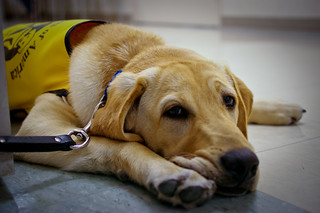Guide Dog training | by dammit_jill