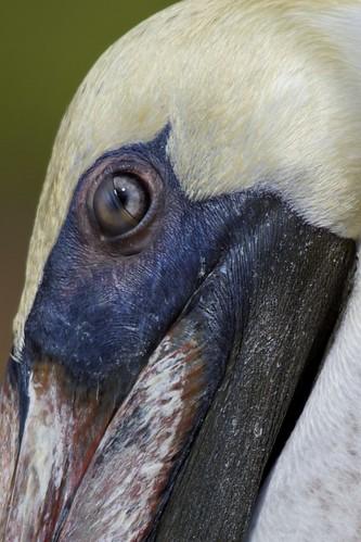 Brown Pelican (Pelecanus occidentalis) Study: The Blink | by bbum