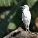 Flickr photo 'Bubulcus ibis' by: Pablo Leautaud..