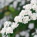 Spiraea cantoniensis - Photo (c) soranyan, osa oikeuksista pidätetään (CC BY-NC)