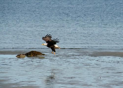 eagle landing | Angela Sevin | Flickr