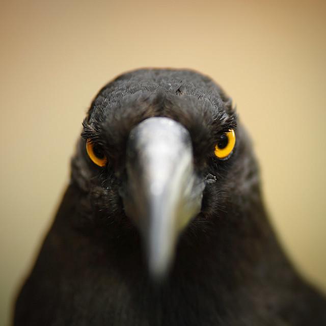 BLACK CURRAWONG - TASMANIA - AUSTRALIA