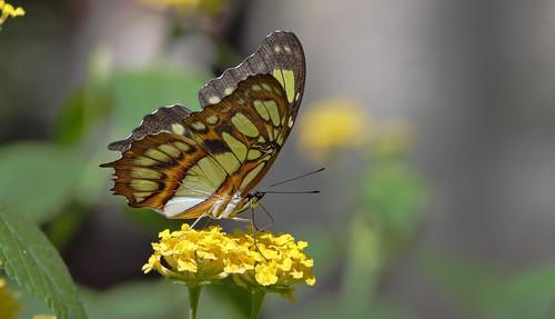 macro butterfly michigan ngc npc detroitzoo malachite siproetastelenes potofgold supershot