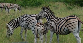 Zebra, Hluhluwe Imfolozi Game Reserve | by jumblejet