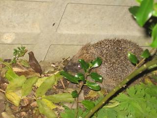 Hedgehog, as found in the Garden | by alexgoodey