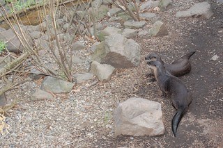 River otters   by clio1789