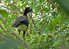 Yellow-knobbed Curassow by matthewhalley