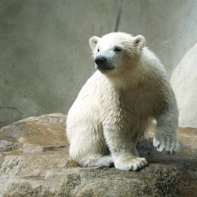 This is Walker the little polar bear in the Zoo